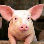 Huerto sin cerdo, no tiene dueño