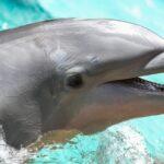 Nací delfín